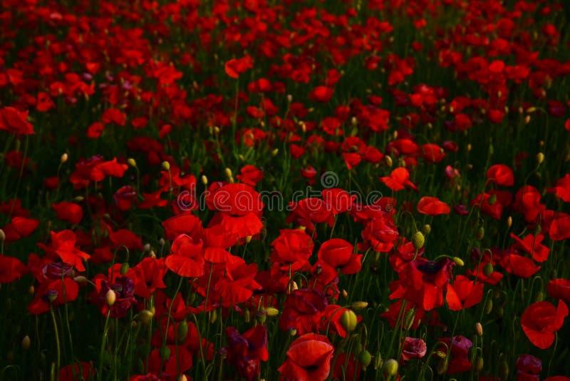 Fleur rouge lumineuse de pavot image libre de droits