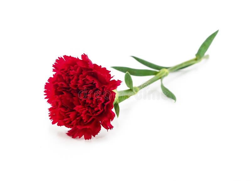 Fleur rouge propre d'oeillet sur le blanc photographie stock