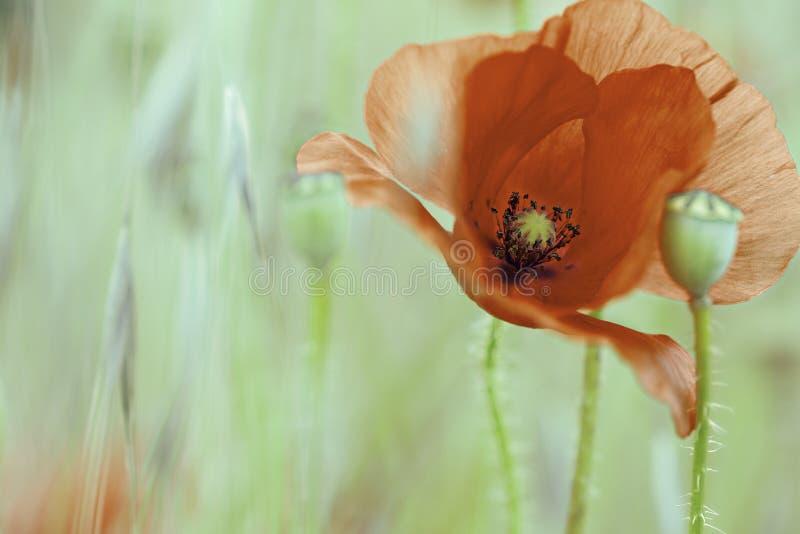 Fleur rouge sauvage d'été photographie stock