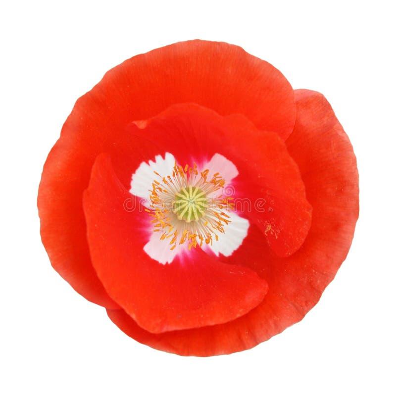 Fleur rouge simple de pavot images stock