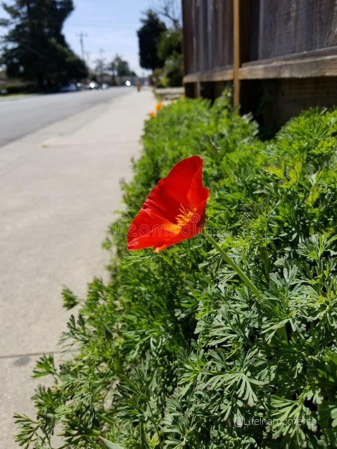 Fleur rouge sur le trottoir photographie stock