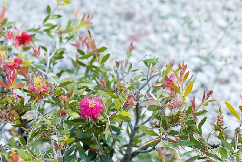 Fleur rouge sur un buisson avec des feuilles de vert et de jaune image libre de droits