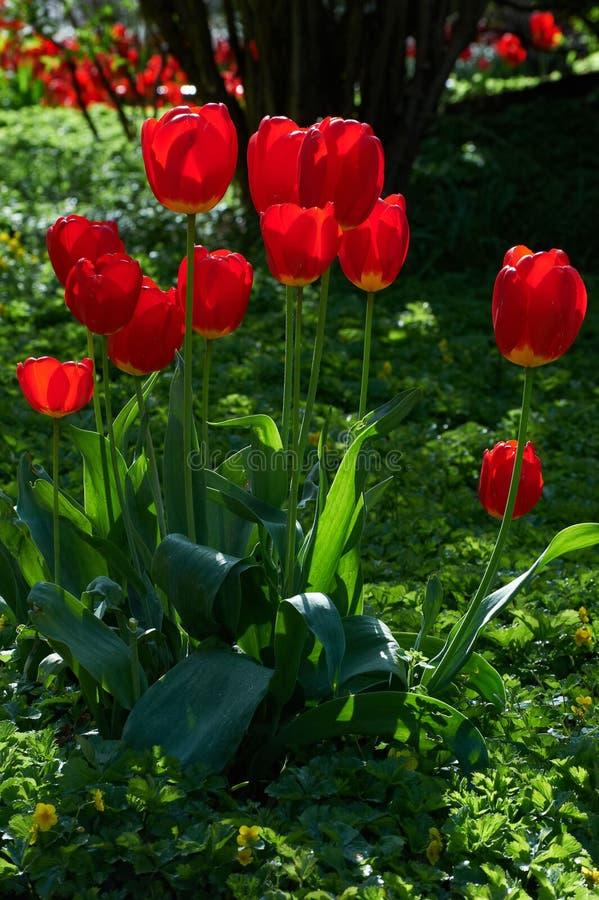 Fleur rouge, tulipe, Liliaceae photo libre de droits
