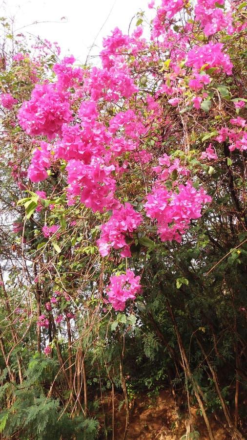 Fleur roz στοκ εικόνες