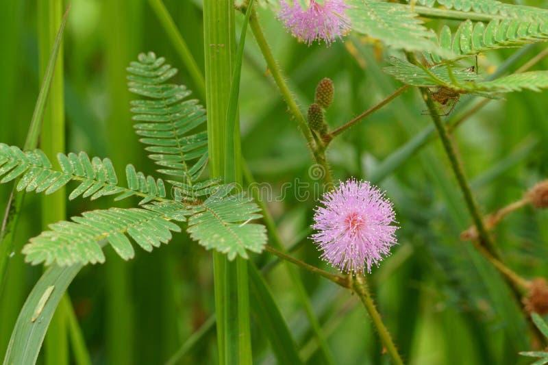 Fleur rurale en fleur Mimosa rose Pudica Centrale sensible images stock