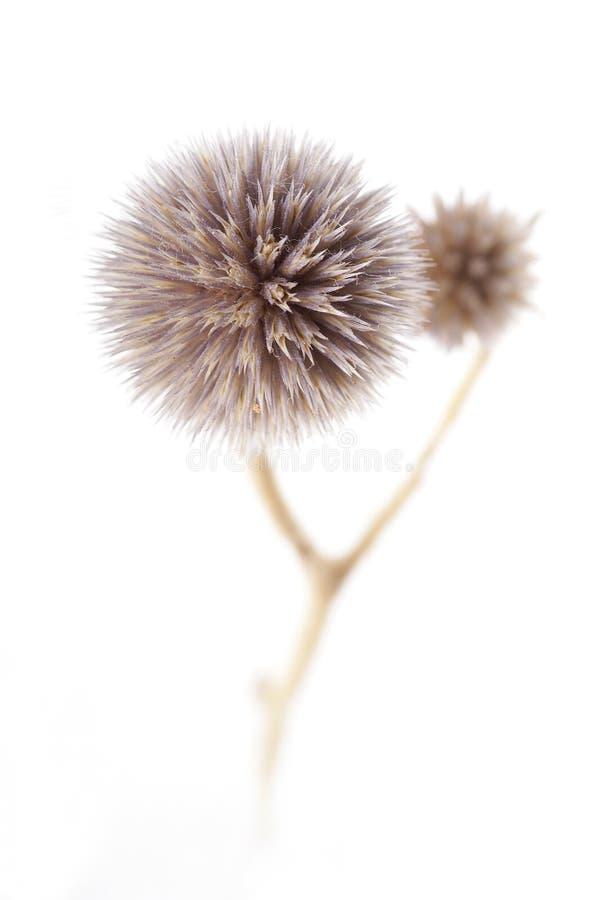 Fleur sèche photo stock