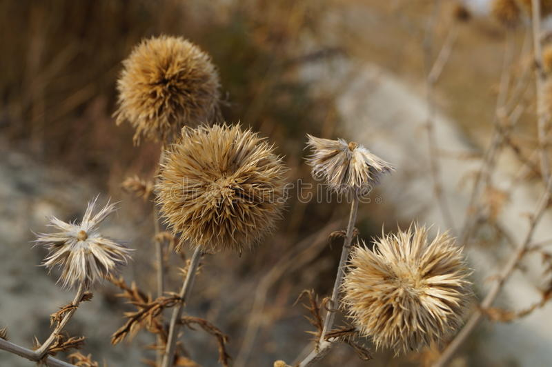 Fleur sèche photographie stock libre de droits