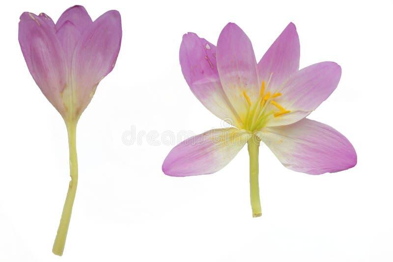 Fleur sèche de crocus d'automne images libres de droits