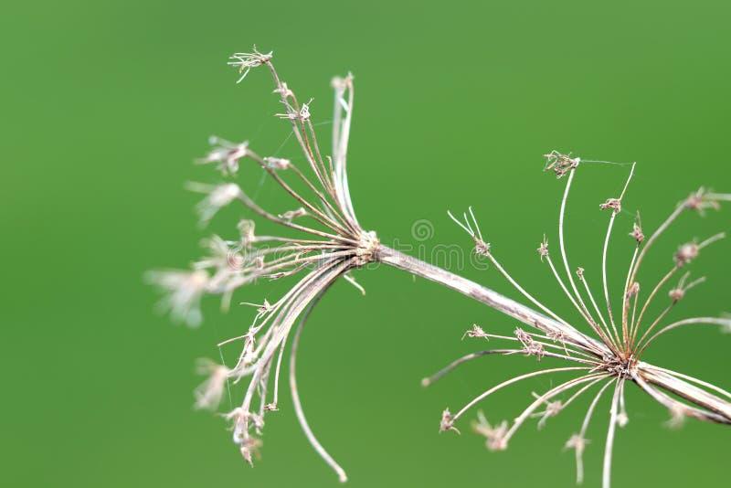 Fleur sèche sur le fond vert image stock