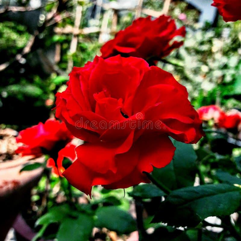 Fleur : s'est levé photographie stock