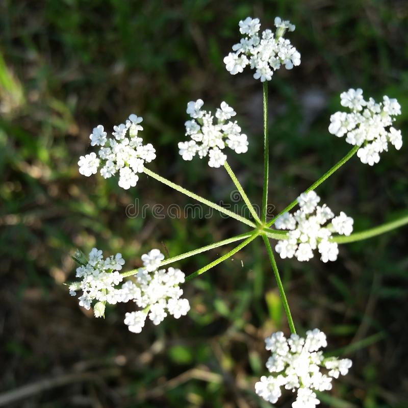 Fleur sauvage blanche photos libres de droits