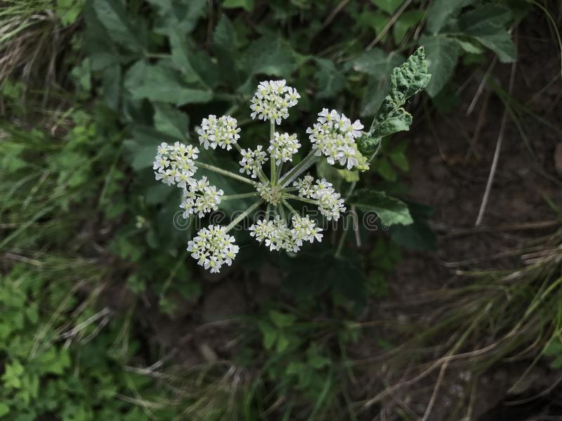 Fleur sauvage blanche image stock