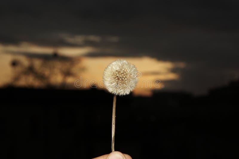 Fleur sauvage contre le coucher du soleil images stock