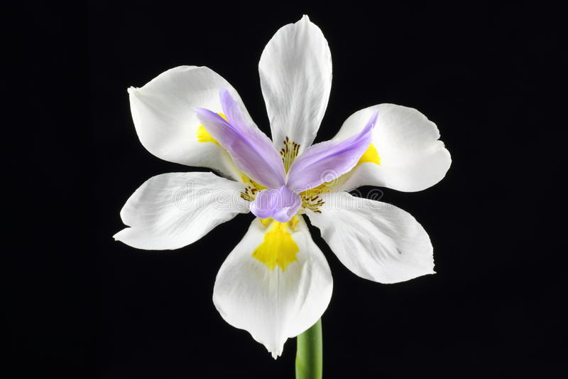 Fleur sauvage d'iris d'isolement photos libres de droits