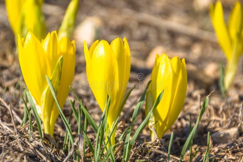 Fleur sauvage de beau clusiana de Sternbergia en pleine floraison images libres de droits