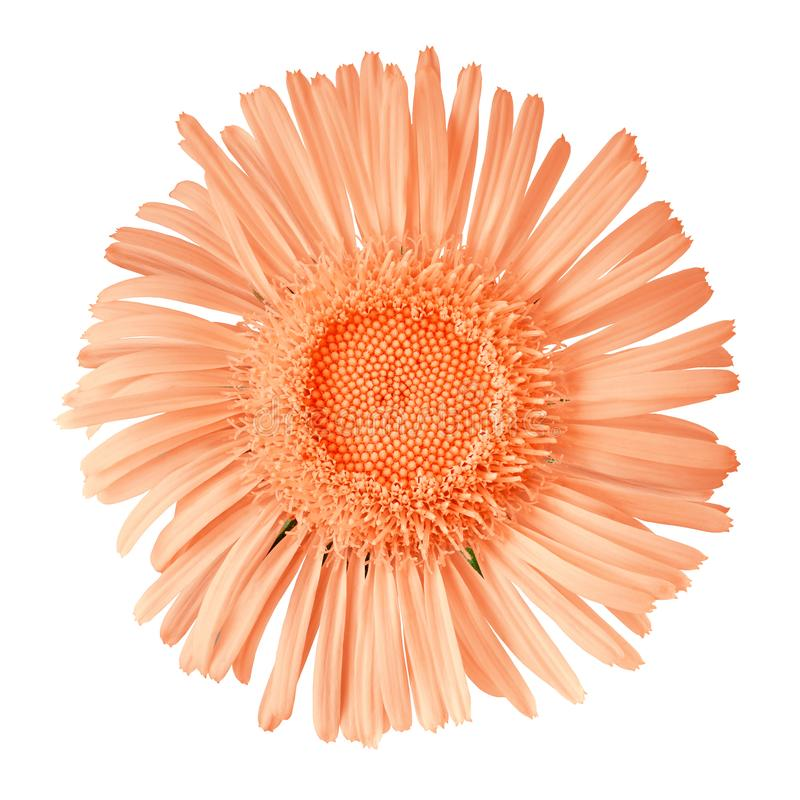 Fleur sauvage de corail d'isolement sur le fond blanc Fin de bourgeon floral vers le haut image libre de droits