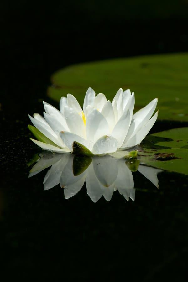 Fleur sauvage de garniture de lis blanc avec la réflexion images libres de droits