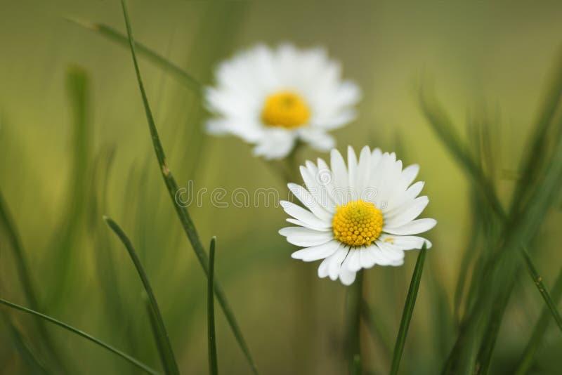Fleur sauvage de marguerite dans un pré photo libre de droits