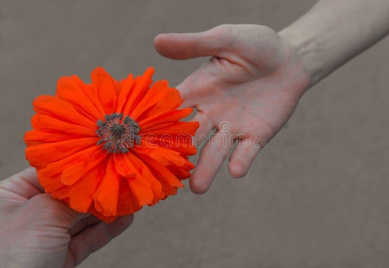 Fleur sauvage de pavot ? disposition en gros plan au coucher du soleil Symbole de souvenir photo libre de droits