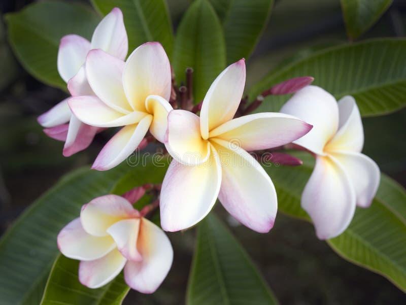 Fleur sauvage de Plumeria, Maui, Hawaï photographie stock