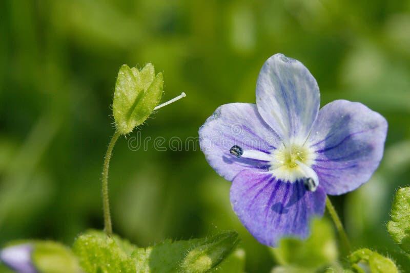 Fleur sauvage de véronique minuscule photographie stock libre de droits