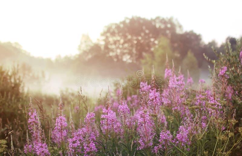 Fleur sauvage en brouillard sur le coucher du soleil photographie stock libre de droits