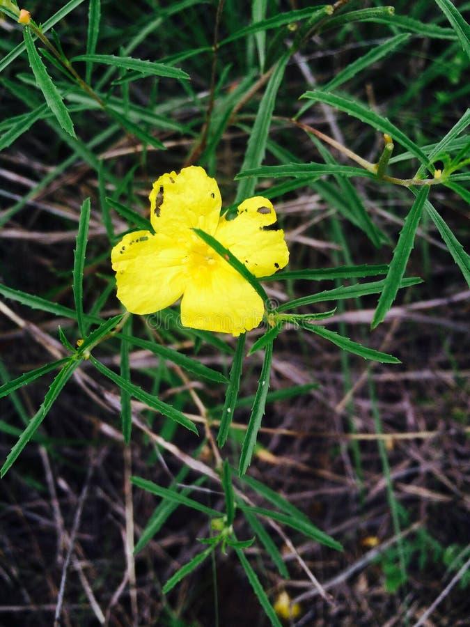 Fleur sauvage isolée images libres de droits