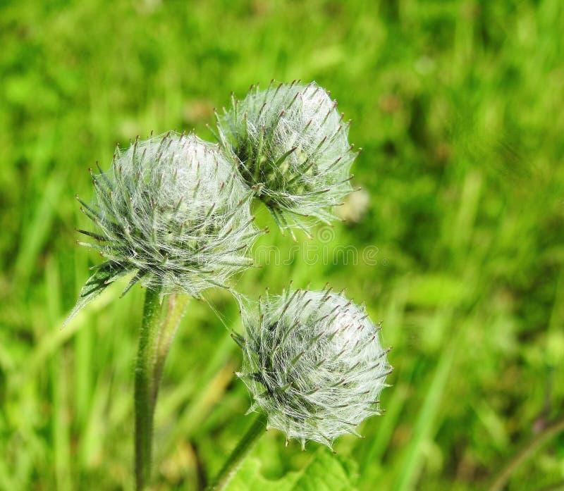 Fleur sauvage verte en été, Lithuanie image libre de droits