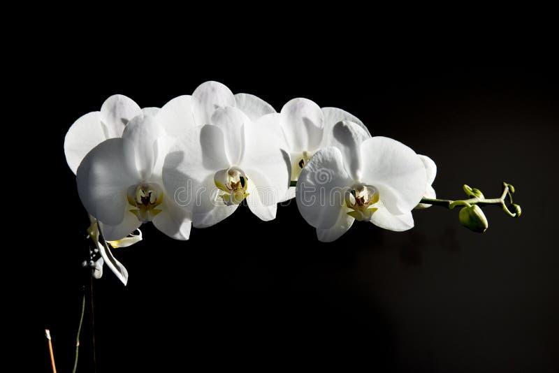 Fleur sensible blanche d'orchidée sur un fond foncé photo stock