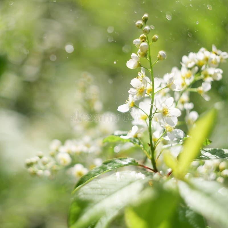 Fleur sensible de cerisier d'oiseau, profondeur de champ, belle fleur brouillée de cerisier de burd de fond de bokeh photos stock