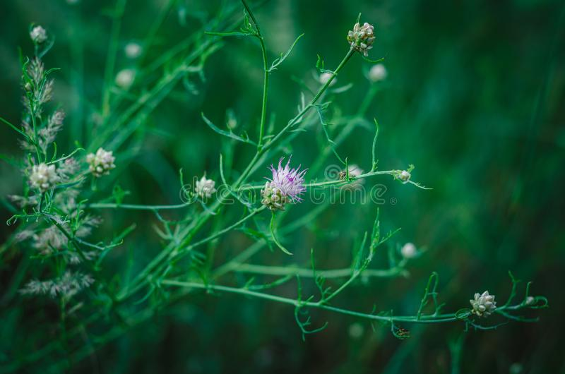 Fleur sensible de pré de blanc-lilas sur un fond d'herbe verte Foyer s?lectif Fond brouill? Place pour le texte photos stock