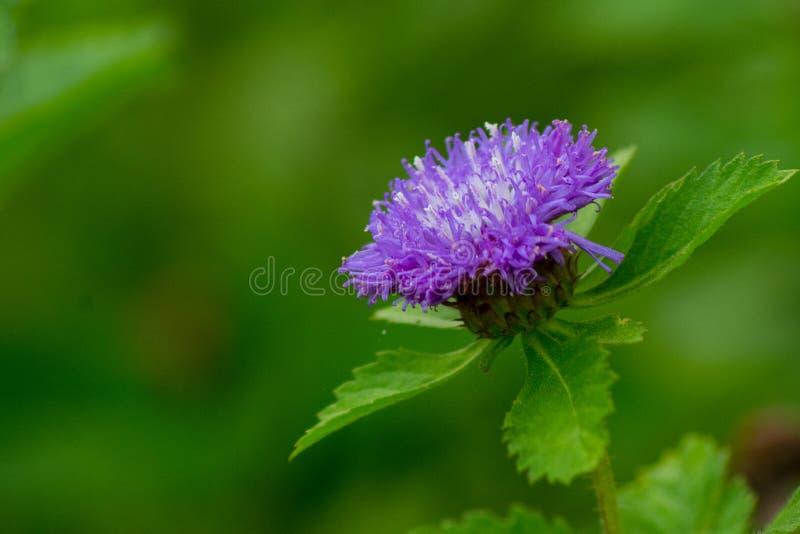 Fleur si pourpre photos libres de droits