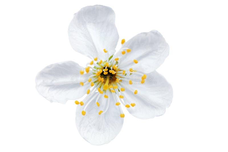 Fleur simple de cerise. D'isolement sur le fond blanc. photo libre de droits