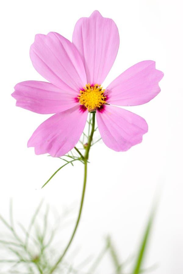 Fleur simple de cosmos d'isolement image stock