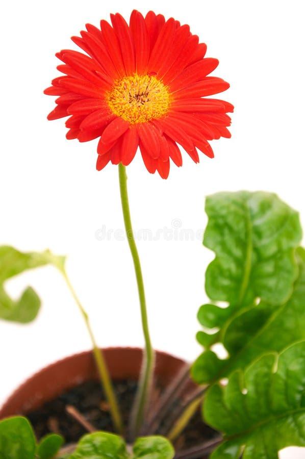 Fleur simple de gerbera au-dessus du fond blanc images stock