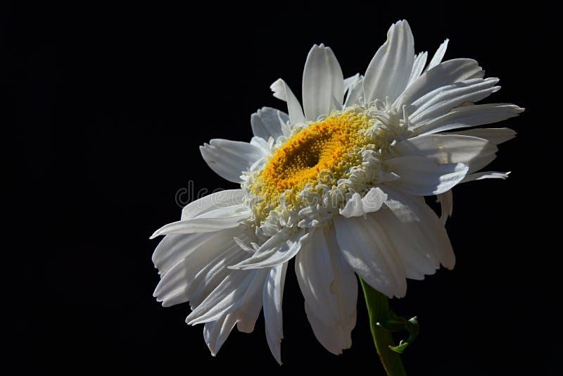 Fleur simple de Leucanthemum Vulgare de marguerite des prés avec des gouttes de l'eau sur les pétales blancs, fond noir photographie stock libre de droits