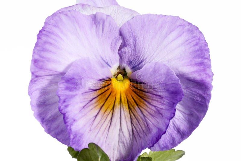 Fleur simple de pensée de jardin d'isolement sur le fond blanc photographie stock libre de droits