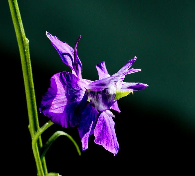 Fleur simple de pied-d'alouette photographie stock