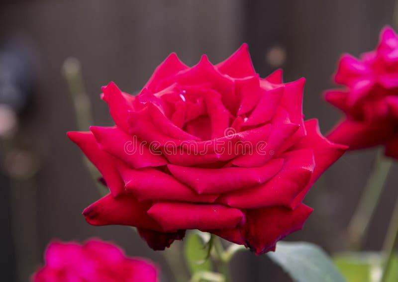 Fleur simple de rose de rouge de vue de plan rapproché, Seattle, Washington images stock