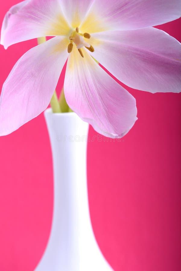 Fleur simple en gros plan de tulipe photo libre de droits