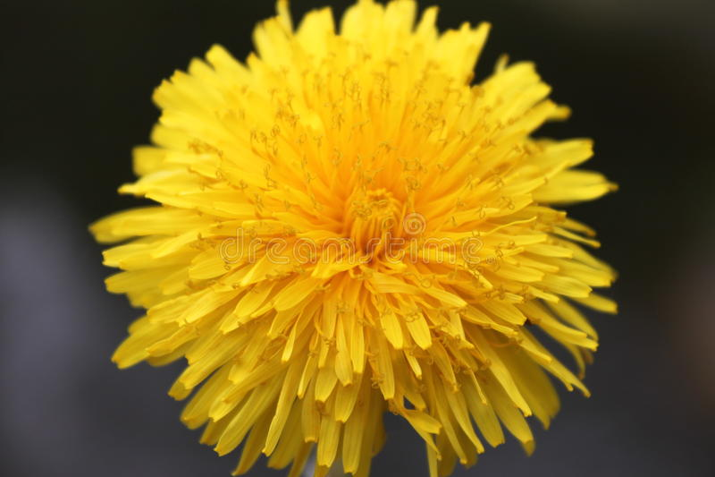 Fleur solaire images stock