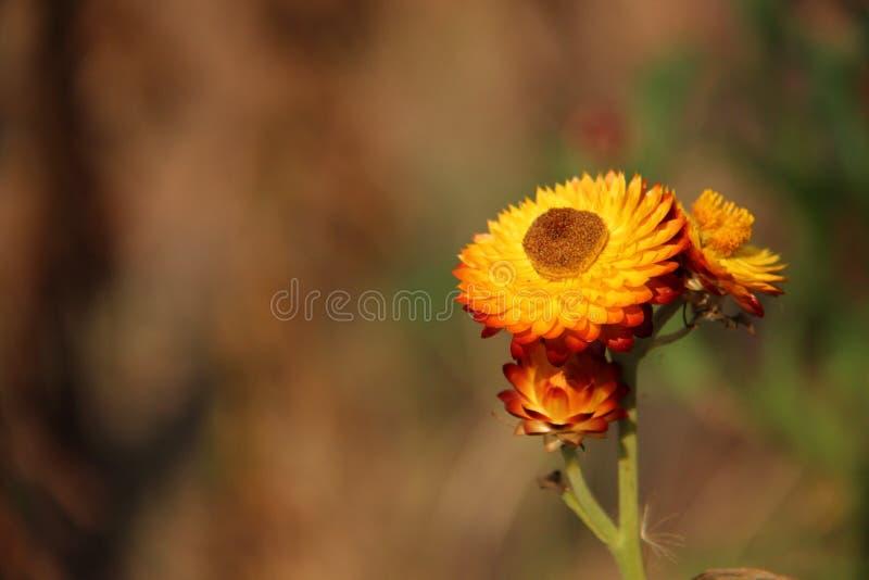 Fleur Straw Flower With Blurs Background photographie stock libre de droits
