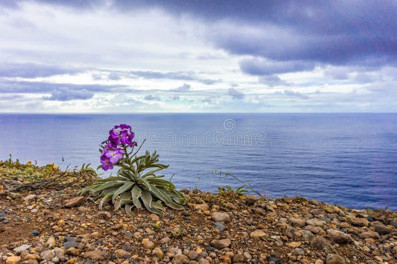 Fleur sur la c?te rocheuse en littoral atlantique de la Mad?re portugal photo stock