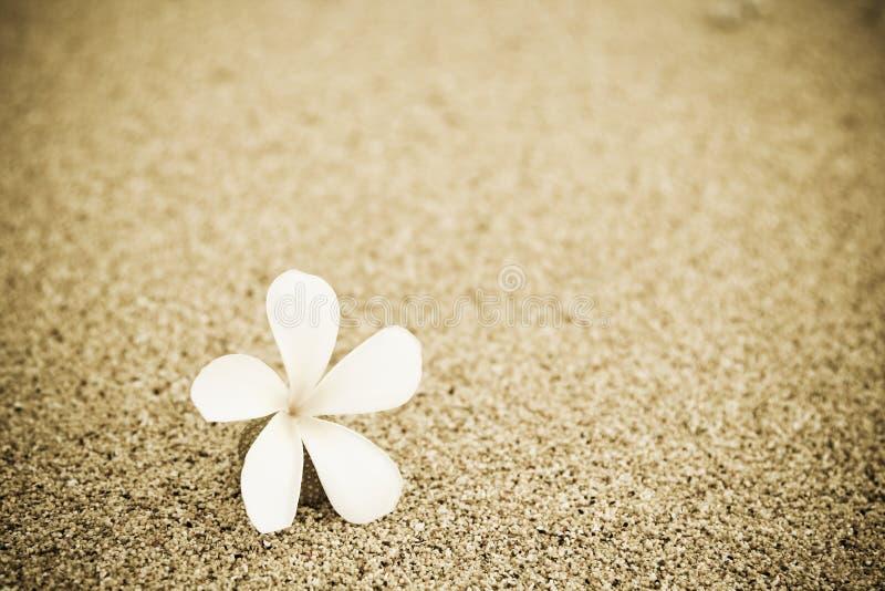 Fleur sur la plage photographie stock libre de droits