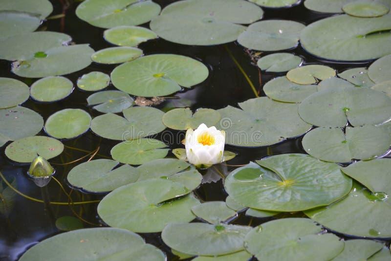 Fleur sur Lilly Pad dans le lac photographie stock
