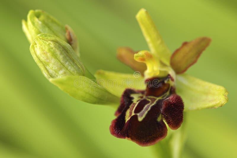 orchidee sauvage 79