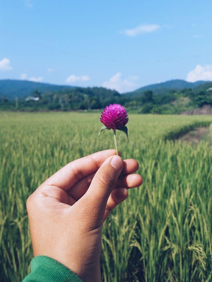 Fleur tenue parmi le riz photographie stock