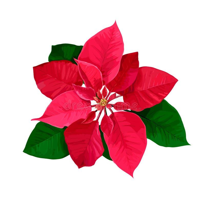 Fleur tirée par la main de poinsettia d'étoile de Noël d'isolement sur un fond blanc photographie stock libre de droits