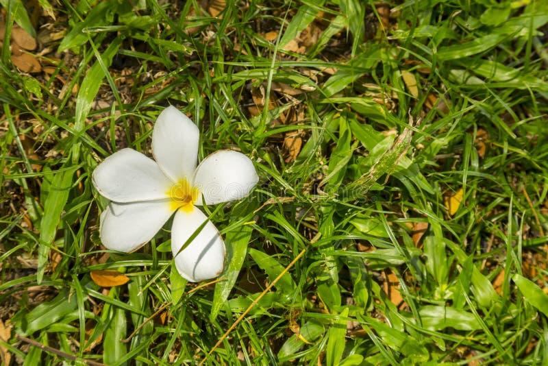 Fleur tombée blanche images stock