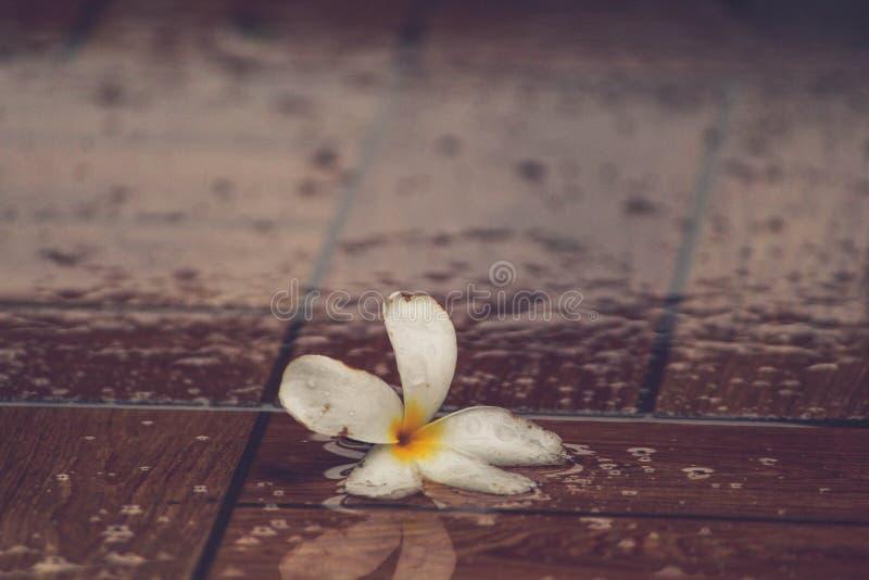 Fleur tombée de frangipani images stock
